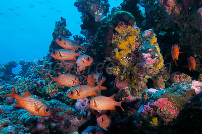 Soldierfishes Rangiroa's atoll