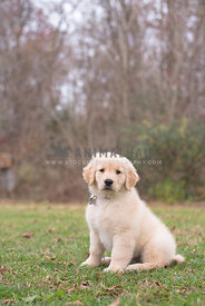 small golden retriever puppy sitting in the grass