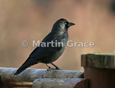 Western Jackdaw (Corvus monedula), Badenoch & Strathspey, Scottish Highlands