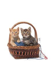 Two kittens with yarn in basket on white background