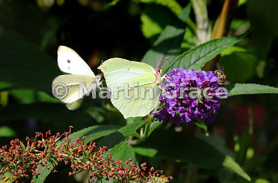 Female Brimstone (Gonepteryx rhamni) being investigated by a movement-blurred amorous flying male Small White (Pieris rapae) ...
