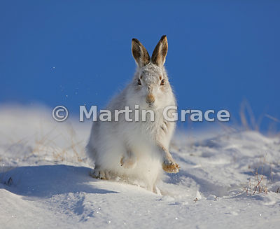 Mountain Hare (Arctic Hare) (Lepus timidus) shaking snow off its front feet, February 13, Strathdearn, Scottish Highlands