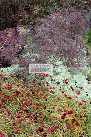 Massif pourpre et argenté : Cosmos atrosanguineus 'Chocamocha' (cosmos chocolat), Carex comans 'Bronze Perfection', Sambucus ...
