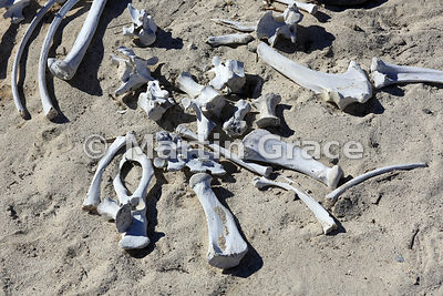 Galapagos Sea Lion (Zalophus californianus wollebacki or wollebaeki) bones on the beach at Sombrero Chino, Galapagos Islands