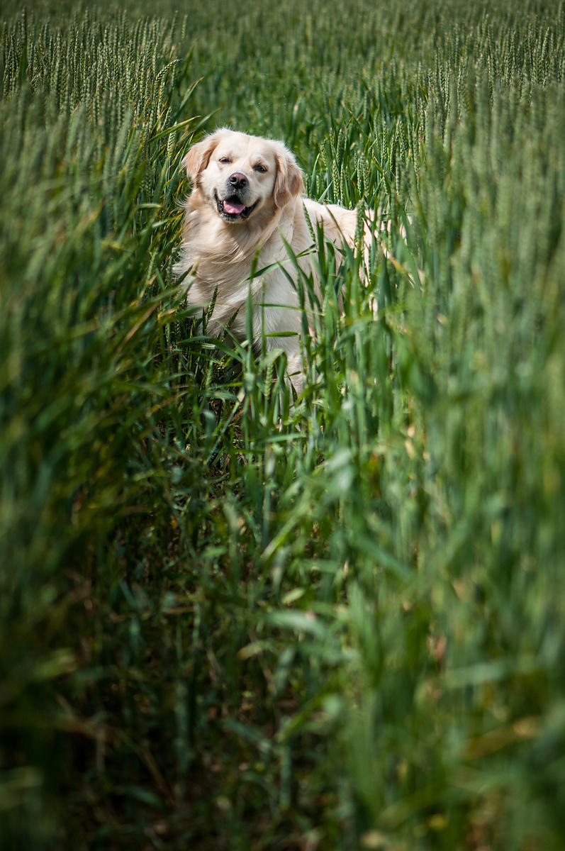 golden_retriever-fedex-