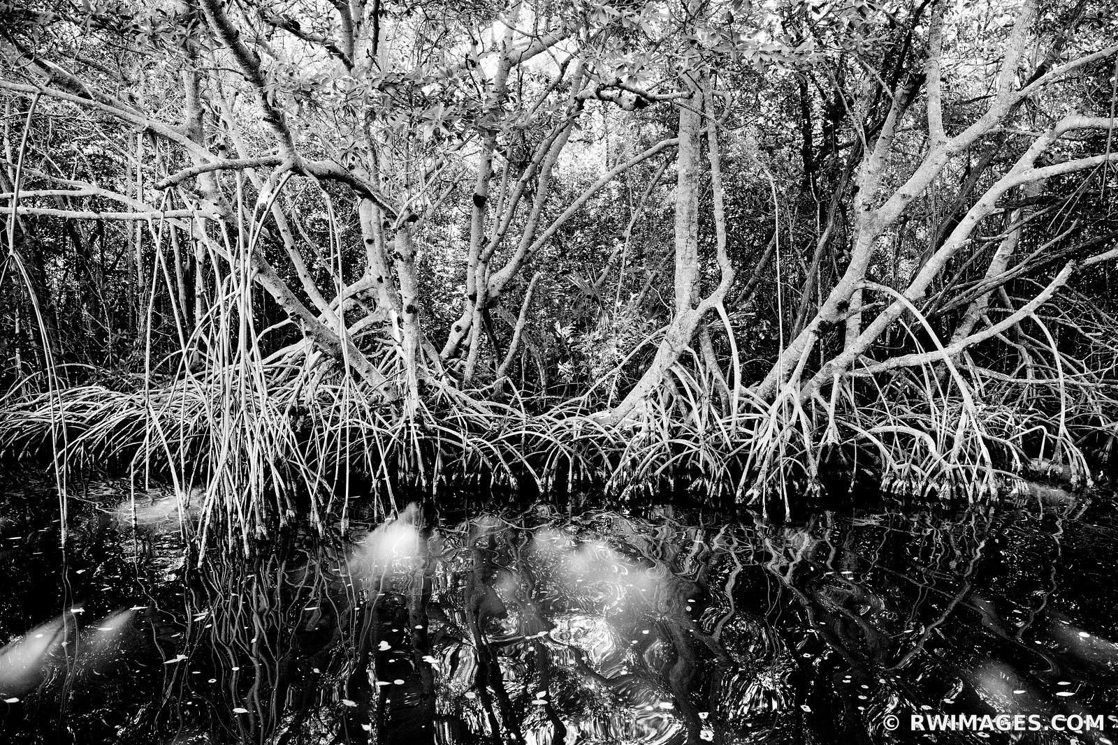 MANGROVE TREES EVERGLADES NATIONAL PARK FLORIDA BLACK AND WHITE