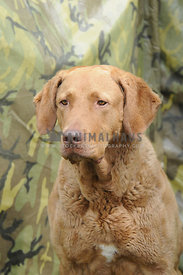 Chesepeake Bay Retriever headshot with camouflage background