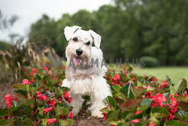 white schnoodle standing in red flowers