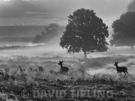 Red Deer Cervus elaphus hinds at dawn during rut Richmond Park London October