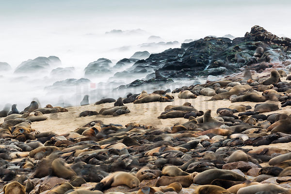 Cape Fur Seals on Cape Cross Beach