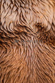close up detial of labrador fur