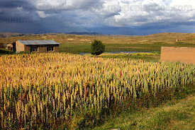 Rustic farm and field of quinoa plants ( Chenopodium quinoa ) growing on altiplano with stormy sky , Bolivia