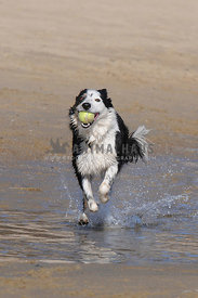 Border Collie running with tennis ball on the beach