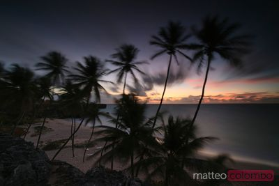 Palms at Bottom beach at dawn Barbados Caribbean