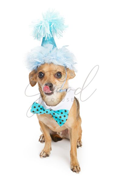 Chihuahua Dog Wearing Blue Birthday Hat