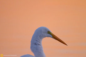 Great Egret #9