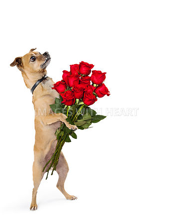 Chihuahua Dog Standing Holding Dozen Roses