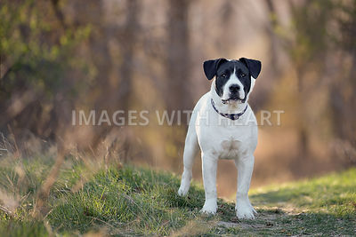 Big black and white dog in forest