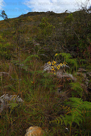 "Oncidium genus ""dancing queen"" orchid growing on edge of cloud forest, Cerro Uchumachi, near Coroico, Bolivia"