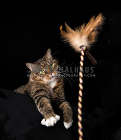 Playful tabby cat fetching a toy