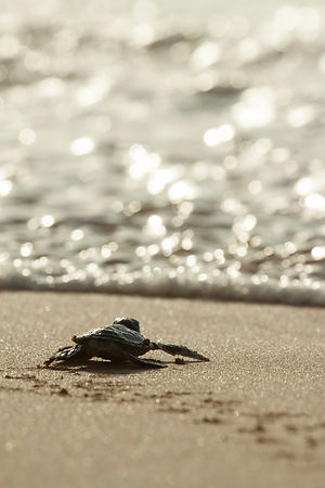 Baby Green Turtle at Sunset