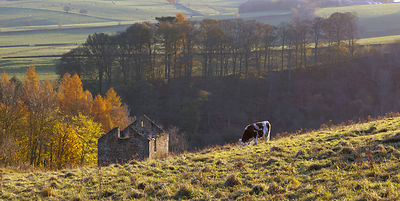 Cow and barn near Hassop