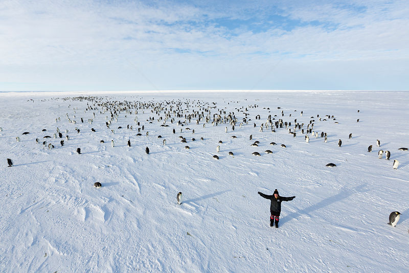 Photographer Sue Flood among Emperor penguin (Aptenodytes forsteri) adult penguins
