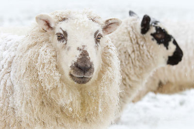 HILL SHEEP IN SNOW