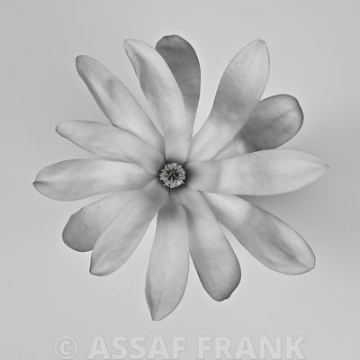 Star Magnolia close-up