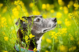 senior dog in yellow flowers