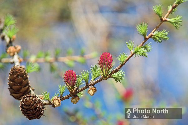 LARCH 02A - European larch flowers and cones