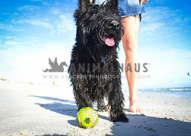 black Scotty Dog with ball and owner on the beach