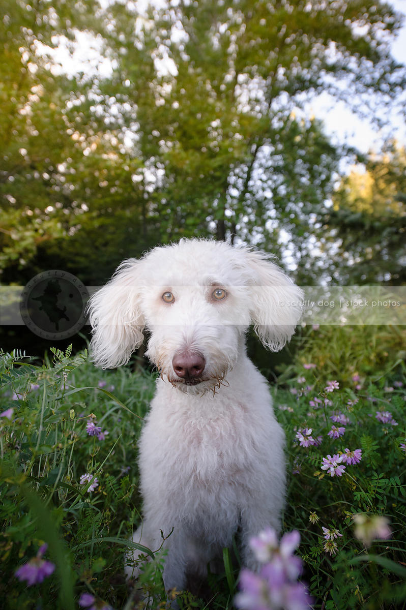 Stock Photo sweet shy white doodle dog sitting in meadow of flowers