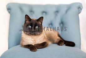 Siamese tomcat sitting on blue chair