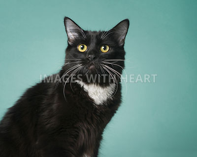 Tuxedo cat on teal background