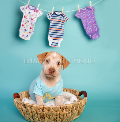 white and tan puppy with blue eyes in blue onesie in a basket on turquoise paper.