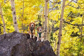 Two beagles hiking in aspend grove in fall