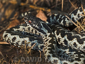 Adder Vipera berus male on heath North Norfolk early spring