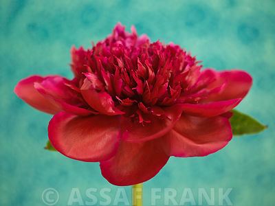 Red Peony flower, close-up