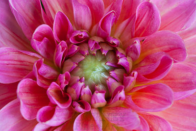 Fuchsia Dahlia Center
