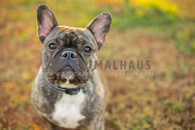 Head shot of a brindle French Bulldog outside in a field
