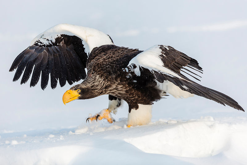 Steller's Eagle Landing on Ice Floe