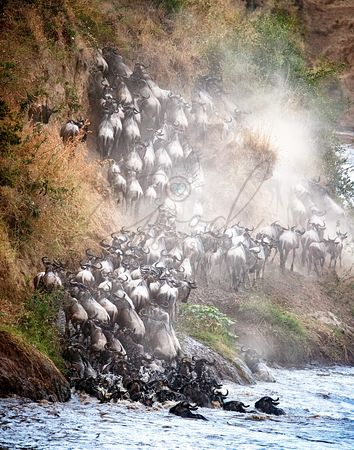 Wildebeest Climbing Up Mara River Bank