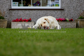 yellow labrador dog lying down chewing in the garden