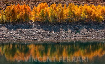 Aspens at Lundy Lake