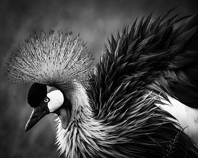 07674-Crown_Crane_Laurent_Baheux