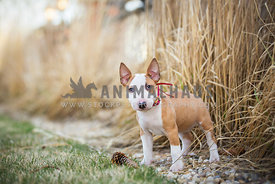 bull terrier puppy standing in the grass