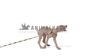 gray weimaraner puppy pulling on leash on white background