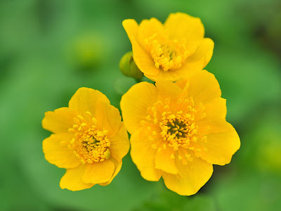 Populage des marais - Yellow marsh marigold (Caltha palustris 'Plena')