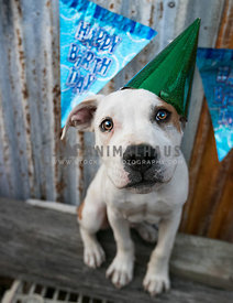 cute staffy at his birthday party
